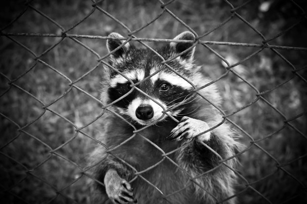 Racoon behide fence